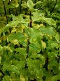 Folhas de Pittosporum Imagem de Stock Royalty Free