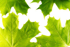 Folhas de plátano Fotografia de Stock Royalty Free