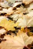 Folhas de plátano Foto de Stock