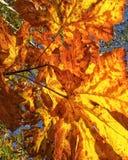 Folhas de plátano alaranjadas Fotografia de Stock Royalty Free