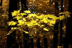 Folhas de plátano amarelas Imagens de Stock Royalty Free