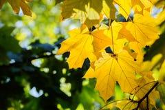 Folhas de plátano amarelas Fotografia de Stock
