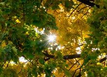Folhas de plátano amarelas no outono Fotografia de Stock