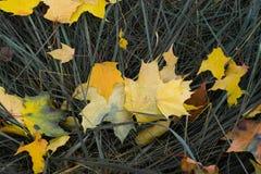 Folhas de plátano amarelas no outono Imagem de Stock