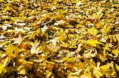 Folhas de plátano amarelas no outono fotos de stock