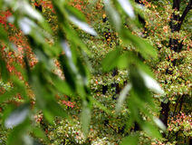 Folhas de plátano através da cereja Foto de Stock
