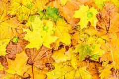 Folhas de plátano caídas Fotografia de Stock Royalty Free