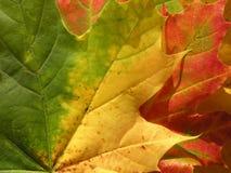 Folhas de plátano coloridas Fotos de Stock
