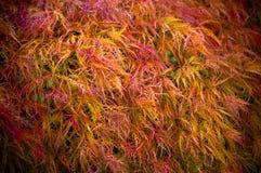 Folhas de plátano coloridas Imagens de Stock