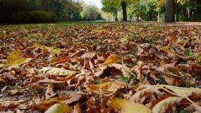 Folhas de plátano coloridas do outono imagem de stock royalty free