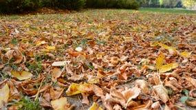 Folhas de plátano coloridas do outono imagem de stock