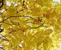 Folhas de plátano coloridas do outono imagens de stock