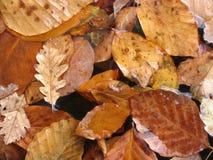 Folhas de plátano coloridas outono Fotos de Stock Royalty Free