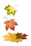 Folhas de plátano coloridas que caem para baixo Imagens de Stock Royalty Free