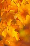 Folhas de plátano da queda Fotos de Stock Royalty Free
