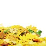 Folhas de plátano do outono. Fotografia de Stock Royalty Free