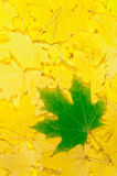 Folhas de plátano do outono Fotografia de Stock Royalty Free