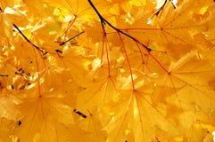 Folhas de plátano do outono Imagens de Stock