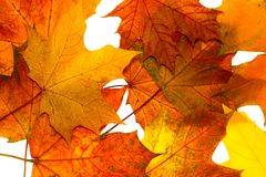 Folhas de plátano do outono Fotografia de Stock