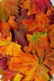 Folhas de plátano do outono Imagens de Stock Royalty Free
