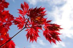 Folhas de plátano do outono de encontro ao céu Fotos de Stock Royalty Free