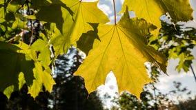 Folhas de plátano do outono de encontro ao céu Fotografia de Stock