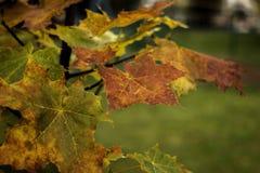 Folhas de plátano do outono em uma filial Imagens de Stock Royalty Free