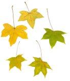 Folhas de plátano do outono isoladas no branco Fotografia de Stock Royalty Free