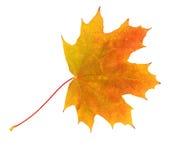 Folhas de plátano do outono isoladas no branco Imagens de Stock