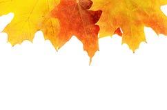 Folhas de plátano do outono isoladas no branco Fotos de Stock Royalty Free