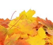 Folhas de plátano do outono isoladas no branco Foto de Stock Royalty Free
