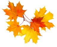 Folhas de plátano do outono isoladas no fundo branco Imagens de Stock Royalty Free