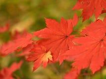 Folhas de plátano do outono macro Fotos de Stock Royalty Free