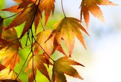 Folhas de plátano do outono na luz solar Fotografia de Stock Royalty Free