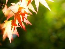 Folhas de plátano do outono na luz solar Foto de Stock