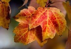 Folhas de plátano do vermelho alaranjado Fotos de Stock