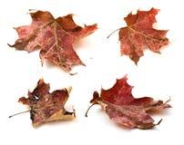 Folhas de plátano do vermelho do outono fotos de stock royalty free