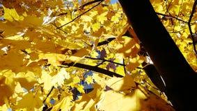 Folhas de plátano douradas do outono imagens de stock