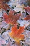 Folhas de plátano geadas do outono Fotos de Stock Royalty Free