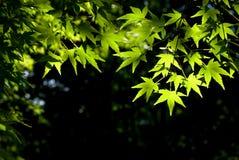 Folhas de plátano japonesas Fotos de Stock