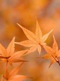 Folhas de plátano japonesas alaranjadas brilhantes no outono. Imagens de Stock