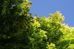 Folhas de plátano japonesas e céu azul Imagem de Stock Royalty Free