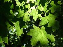 Folhas de plátano na luz solar Foto de Stock Royalty Free