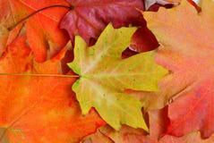 Folhas de plátano no outono Fotos de Stock Royalty Free