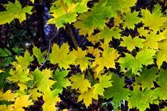 Folhas de plátano no outono Imagem de Stock Royalty Free