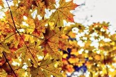 Folhas de plátano no outono foto de stock
