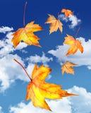 Folhas de plátano que caem de encontro a um céu azul Fotos de Stock Royalty Free