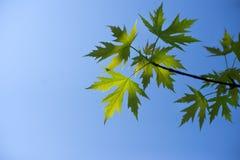 Folhas de plátano verdes Fotografia de Stock Royalty Free