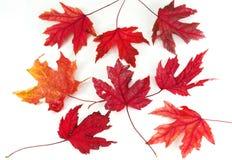 Folhas de plátano vermelhas Imagem de Stock