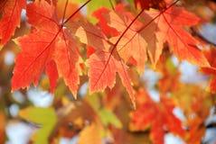 Folhas de plátano vermelhas Fotos de Stock Royalty Free